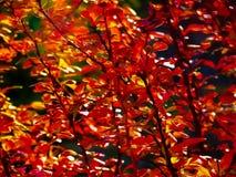 Follaje rojo del bérbero de la hoja Foto de archivo libre de regalías