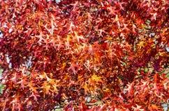 Follaje rojo del otoño fotos de archivo libres de regalías