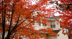 Follaje rojo grande de los arces de azúcar que cubren la casa en Redmond imagen de archivo libre de regalías