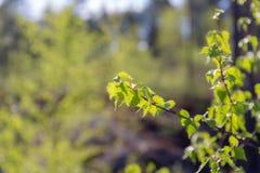 Follaje suave verde del abedul Foto de archivo