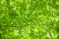 Follaje verde Foto de archivo libre de regalías
