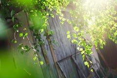 Follaje verde de un árbol de abedul debajo del sol en un día de verano Imagen de archivo libre de regalías