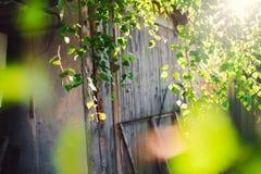 Follaje verde de un árbol de abedul debajo del sol en un día de verano Fotos de archivo libres de regalías