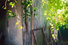 Follaje verde de un árbol de abedul debajo del sol en un día de verano Foto de archivo libre de regalías