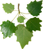 Follaje verde del álamo Imagen de archivo libre de regalías