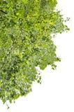 Follaje verde del abedul, aislado en el fondo blanco Fotos de archivo libres de regalías