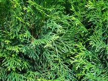 Follaje verde del arborvitae, thuja, profundidad del campo baja fotografía de archivo libre de regalías
