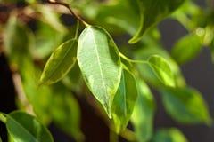 Follaje verde del arbusto de los ficus foto de archivo libre de regalías