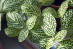 Follaje verde del cierre de la nervio-planta para arriba Fotos de archivo libres de regalías