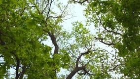 Follaje verde enorme, árboles de abedul y cielo claro almacen de video
