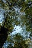 Follaje verde enorme, árboles de abedul y cielo claro en el bosque Imágenes de archivo libres de regalías