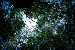 Follaje verde enorme, árboles de abedul y cielo claro en el bosque Fotos de archivo libres de regalías
