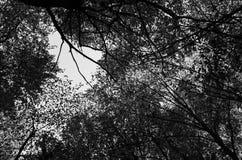Follaje verde enorme, árboles de abedul y cielo claro en el bosque Fotografía de archivo