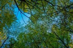 Follaje verde enorme, árboles de abedul y cielo claro en el bosque Foto de archivo libre de regalías