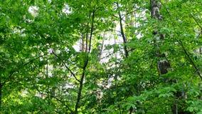 Follaje verde enorme en el bosque que se sacude suavemente en viento en día soleado metrajes