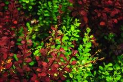 Follaje verde y rojo fotos de archivo