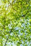 Follaje vibrante de la primavera enorme de la vista de árbol del álamo de debajo Fotos de archivo