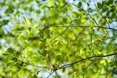Follaje vibrante de la primavera enorme de la vista de árbol del álamo de debajo Imagen de archivo