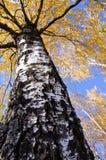 Follaje y cielo de oro de los abedules del otoño Fotos de archivo libres de regalías
