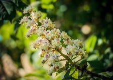 Follaje y flores del hippocastanum del Aesculus de la castaña Flores del árbol del Conker de la castaña de Indias f, hoja Fotografía de archivo libre de regalías