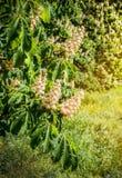 Follaje y flores del hippocastanum del Aesculus de la castaña Flores del árbol del Conker de la castaña de Indias f, hoja Imagen de archivo libre de regalías