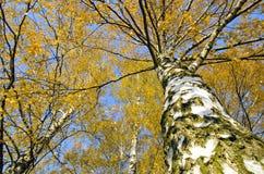 Folliage de oro del otoño del abedul grande Fotografía de archivo