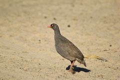 Follow the eye - Francolin, Red-billed Royalty Free Stock Image