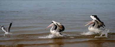 Follow that Fish!!!. Two large Australian pelicans chase a seagull with a fish in its mouth Royalty Free Stock Images