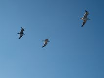 Follow the leader. Gorup of seagull birds flying in the blue sky Royalty Free Stock Image