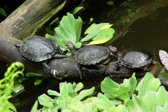 Follow The Leader. Three Red Eared Slider Turtles (Trachemys scripta elegans or formerly Chrysemys scripta elegans) laying in a line on a log above a pool Stock Images