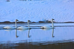 Follow the leader. Three swans in Oxbow bend, at Grand Teton National Park Royalty Free Stock Images