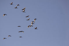 Follow the leader. Beautiful formation of migrating ibises royalty free stock photos