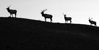 Follow The Leader. Four silhouetted bull elk head across a ridge line in single file stock photography