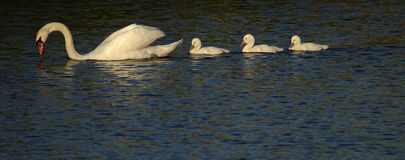 Follow the Leader. A procession of four swans Stock Photos