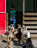 Follow the leader goats and people Stock Photo