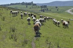 Follow the leader. Small group of black and white sheep follow the leader of the herd to graze Stock Photo