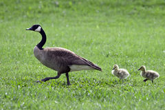 Follow Me. Canada Geese, Mom leading 2 babies Royalty Free Stock Images
