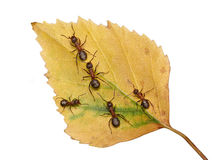 Follow me, joint the team of ants Royalty Free Stock Photography