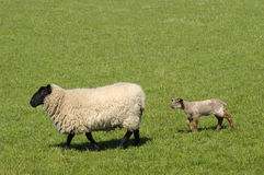 Follow Me. Mother sheep leading her lamb through green fields Royalty Free Stock Photo