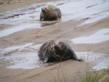 FOLLOW ME MY DEAR UP THE SAND BANK. COW and Bull seal a pair together on mud banks flopped up to from sea. Looking for a safe birthing area for Cow to deliver royalty free stock photos