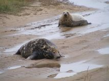 FOLLOW ME MY DEAR UP THE SAND BANK. COW and Bull seal a pair together on mud banks flopped up to from sea. Looking for a safe birthing area for Cow to deliver stock photos