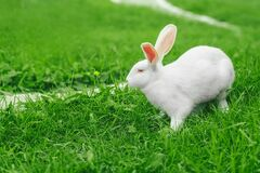 Free Follow Me. White Easter Bunny On A Green Meadow Stock Photos - 177848213