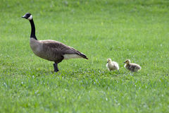 Follow Mom. Two baby canadian geese following their mother through a park Royalty Free Stock Photos