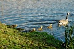 Follow Mum. Goslings following mum in line Royalty Free Stock Image