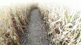 Follow the path of a cornfield from an aerial view stock footage