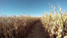 Follow the path of a cornfield from an aerial view stock video