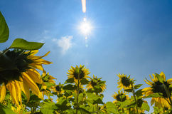 Follow the sun. Sunflower follow the sun at afternoon royalty free stock photography