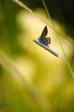 Follow the sunset. Silver-studded blue butterfly sitting on the grass in the light of the evening sun Stock Images