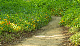 Follow your path. Footpath through the yellow flowers Stock Photography