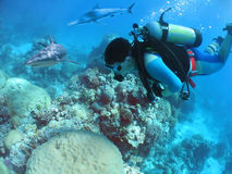 FollowDiver. Diver swimming over reef with sharks Stock Image